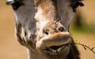 Pensive Giraffe