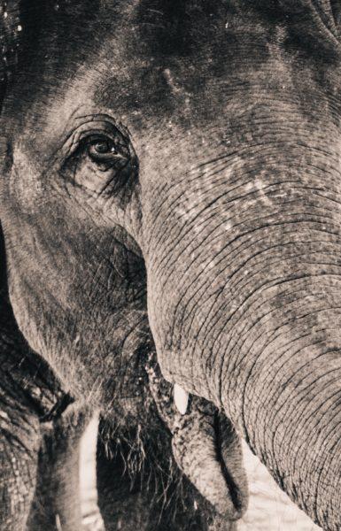 Very big elephant