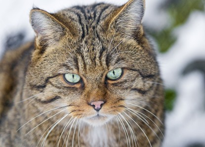 Wild cat looking a bit mean