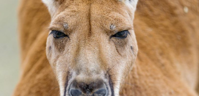 Closeup of a male kangaroo