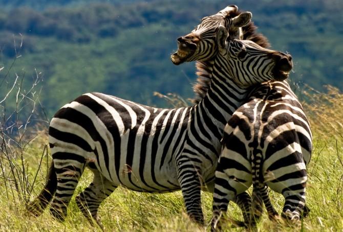 Two zebras.