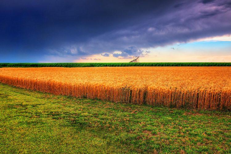 Kansas Summer Wheat and Storm Panorama