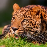 Young and cute leopard lying