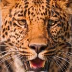 Shy leopard?