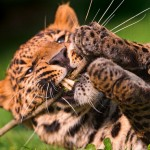 Cute male leopard playing with a twig