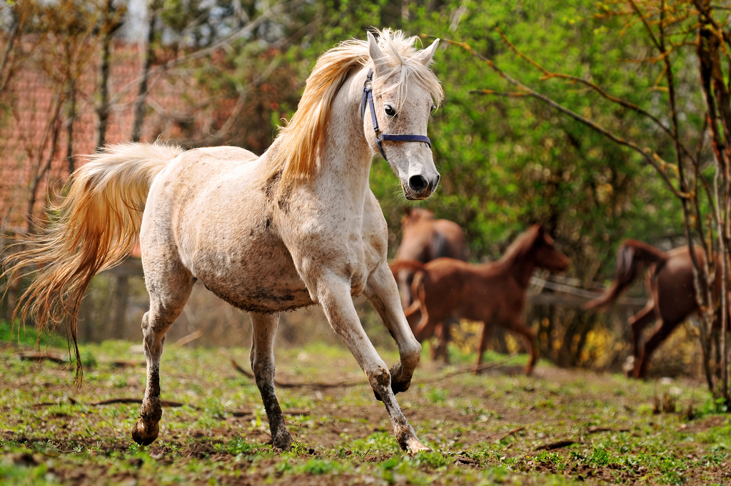 A white Arabian mare galloping in her paddock. | TrustMe