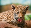 Wildlife of Africa. Leopards