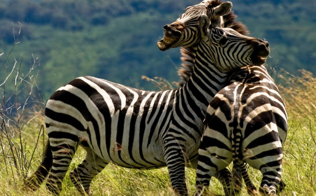 Two Zebras Fighting