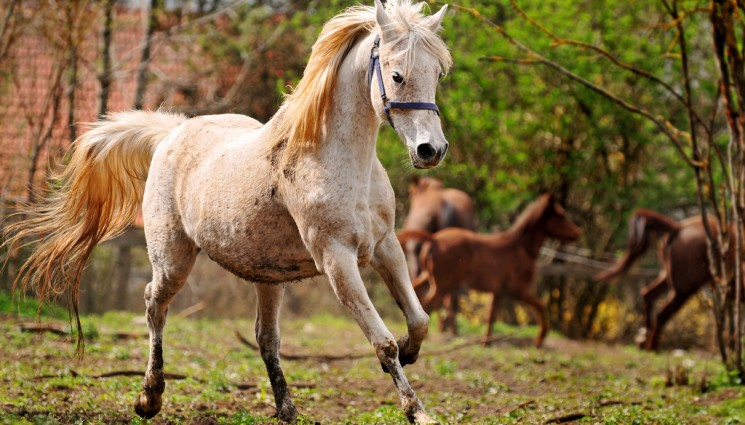 A white Arabian mare galloping in her paddock.